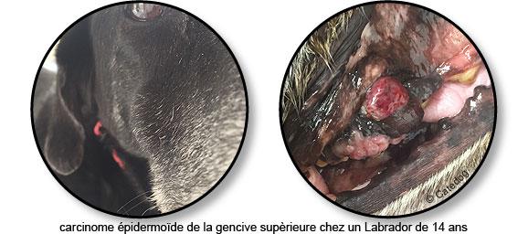 Carcinome épidermoïde de la gencive dans la bouche d'un chien