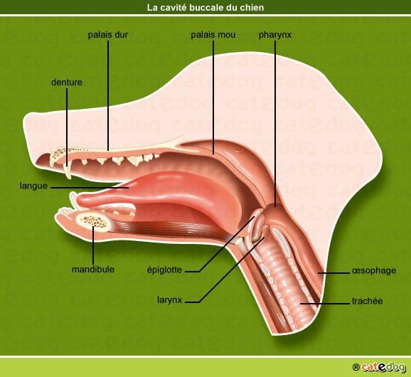 anatomie-chien-cavite-buccale-bouche-catedog