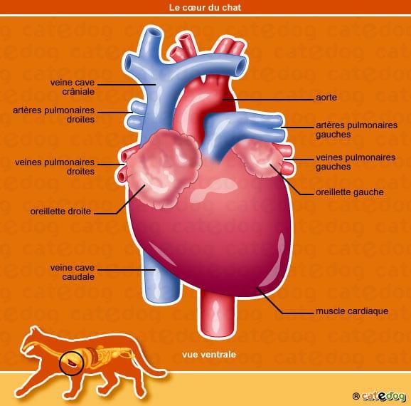 anatomie-chat-coeur-oreillette-veine-catedog