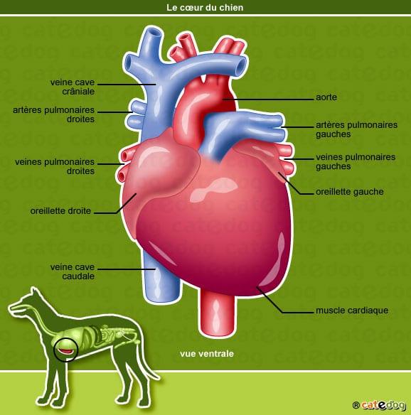 anatomie-chien-coeur-oreillette-veine-catedog