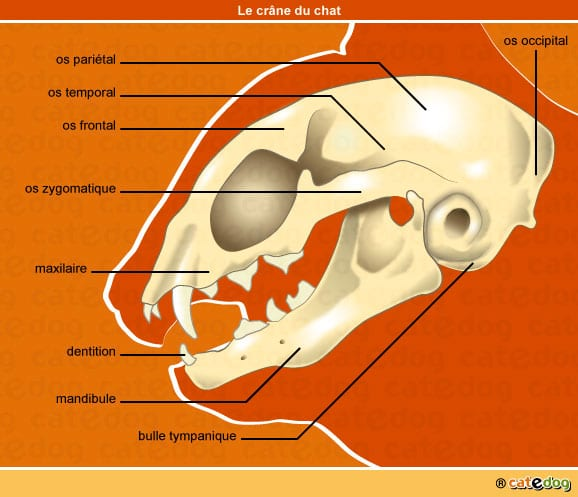 anatomie-chat-crane-os-dentition-squelette