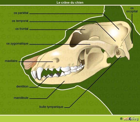 anatomie-chien-crane-os-dentition-squelette