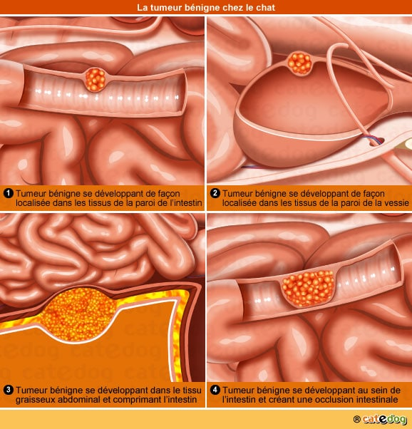 definition-tumeur-benigne-intestin-vessie-chat