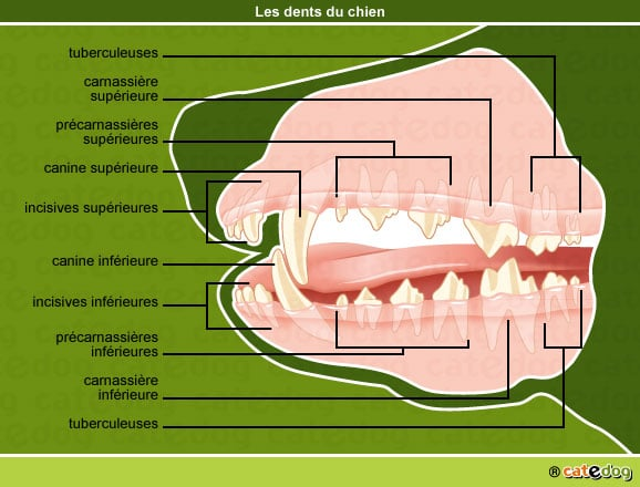 anatomie-chien-dents-dentition-bouche-catedog