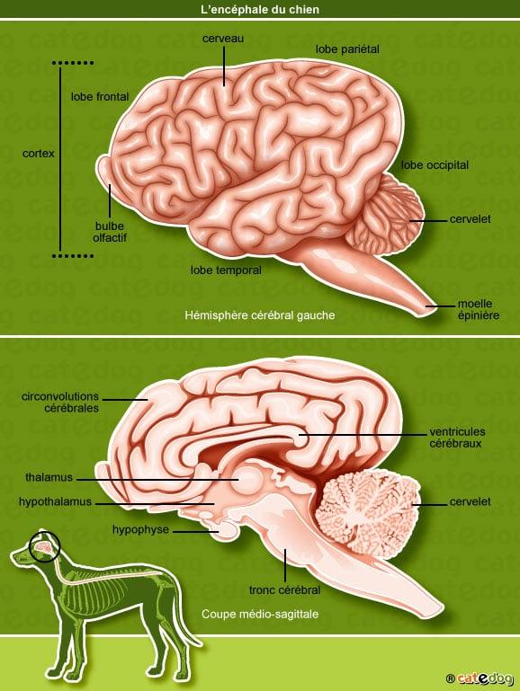 anatomie-chien-cerveau-encephale-cortex-cervelet