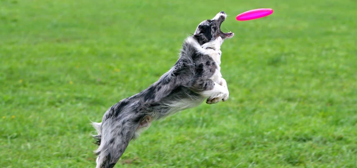 frisbee-chien