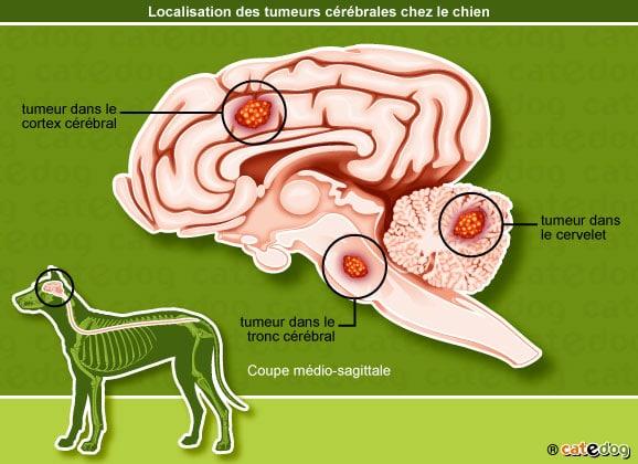 localisation-tumeur-cerveau-cerebrale-chien