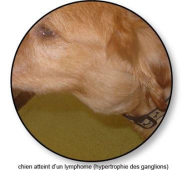 lymphome-du-chien