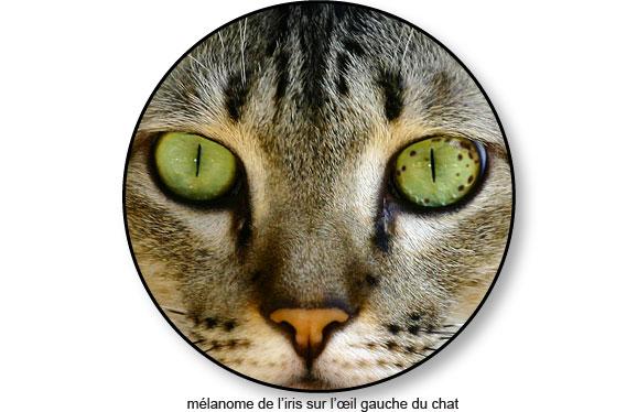 melanome-de-iris-oeil-chat
