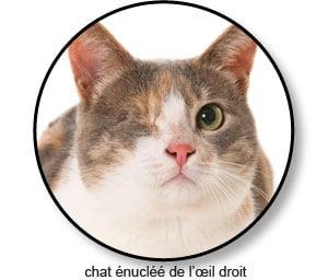 Chat énucléé de l'œil droit
