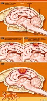 meningiome-cerveau-encephale-chat