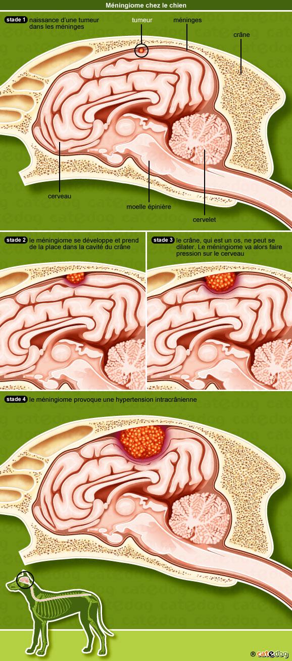 meningiome-cerveau-encephale-chien