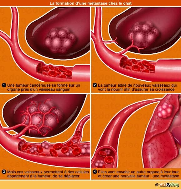 metastase-tumeur-maligne-cancer-cellule-chat