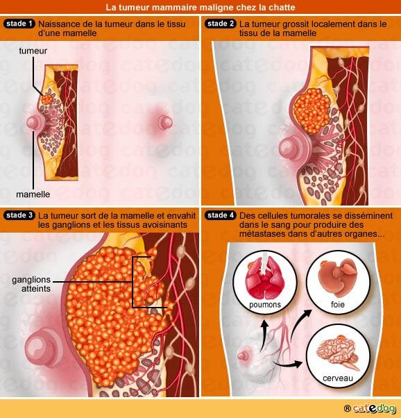 Stades de la tumeur mammaire chez le chat