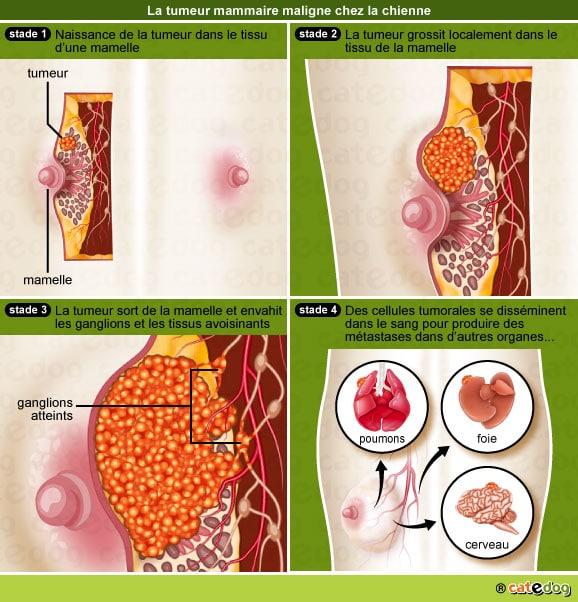 Stades de la tumeur mammaire chez la chienne