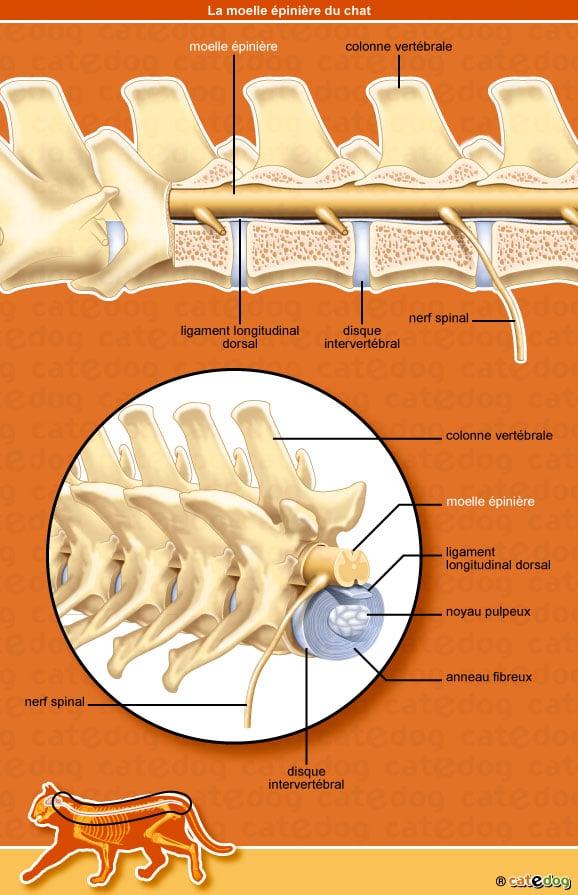anatomie-chat-moelle-epiniere-nerf-vertebre