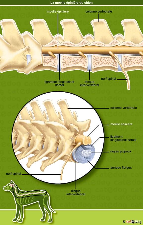 anatomie-chien-moelle-epiniere-nerf-vertebre