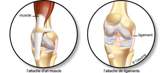 Muscle, ligament et squelette du chien et du chat