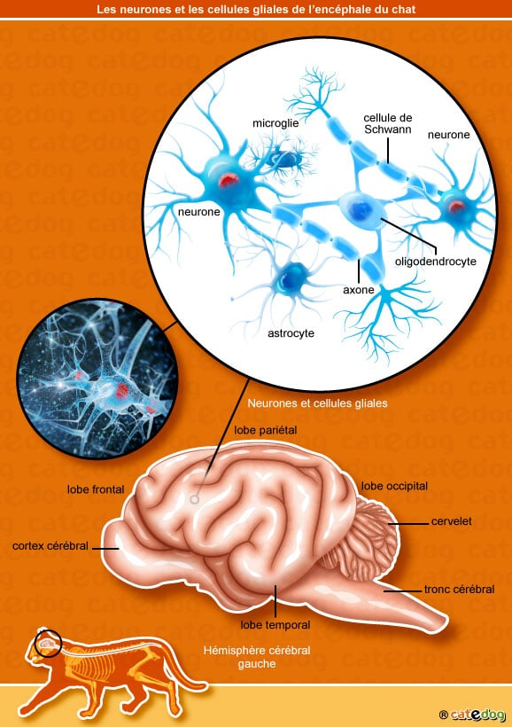 neurones-cellules-gliales-encephale-chat