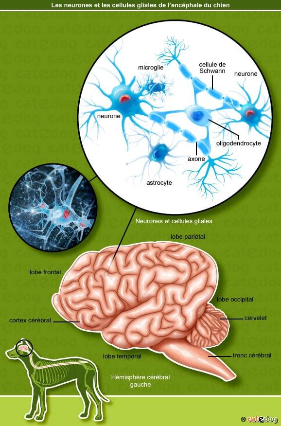 neurones-cellules-gliales-encephale-chien