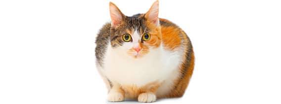 obesite-du-chat