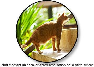 Amputation chez un chat atteint d'un ostéosarcome