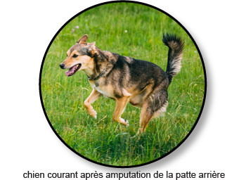 Amputation chez un chien atteint d'un ostéosarcome