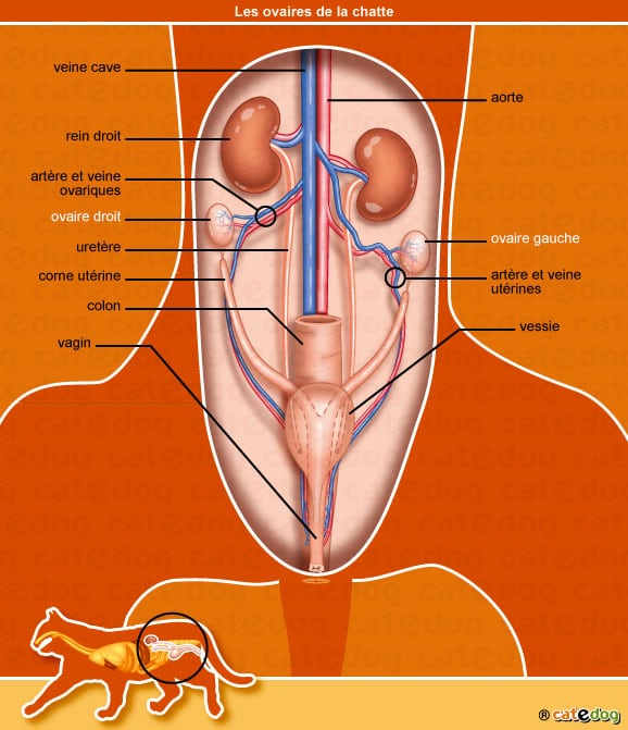 anatomie-chatte-ovaire-vagin-corne-uterine