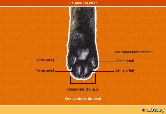 anatomie-chat-pied-patte-arriere-coussinet