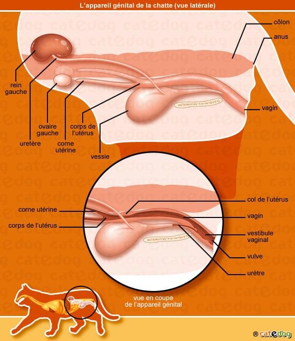 anatomie-chatte-appareil-genital-reproducteur-vagin