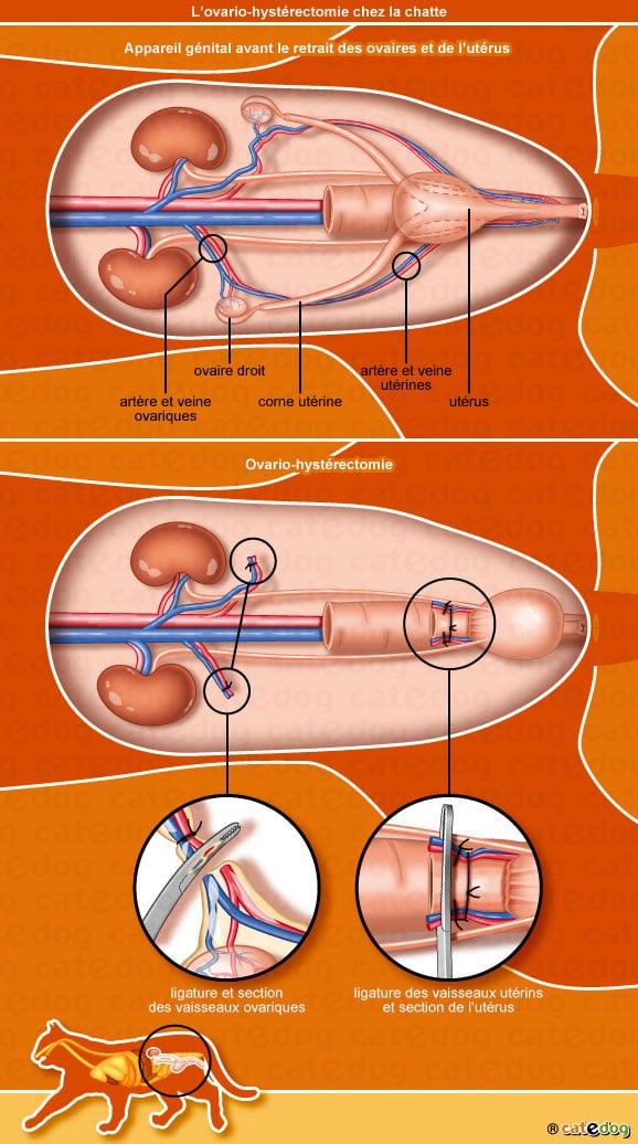 sterilisation-ovario-hysterectomie-tumeur-vagin-ovaire-chatte