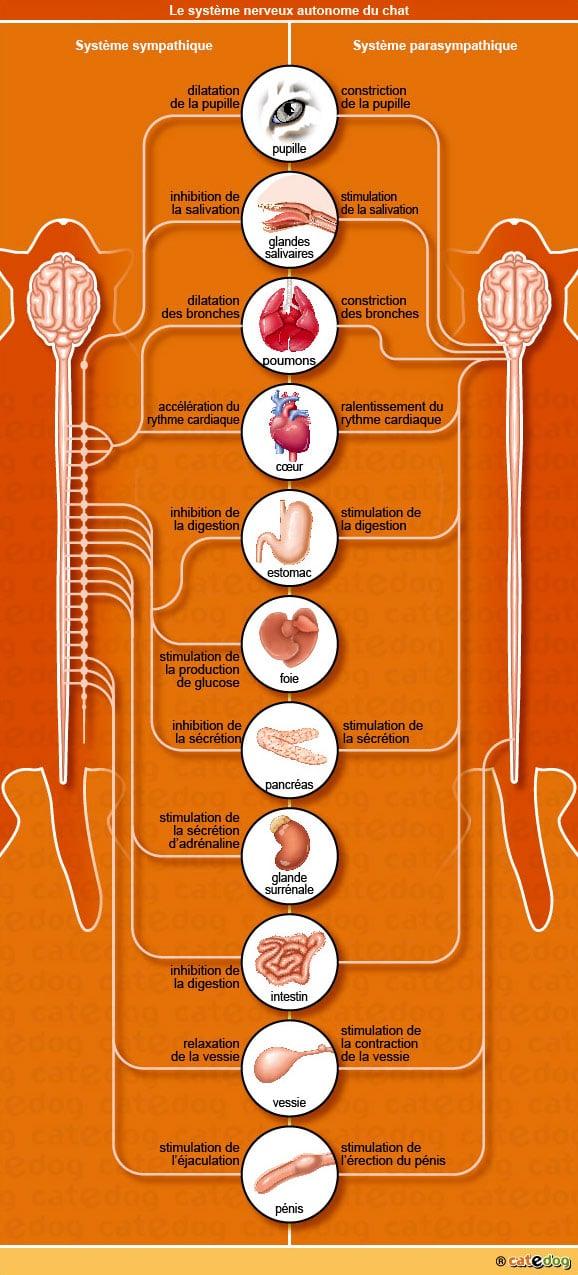 anatomie-chat-systeme-autonome-sympatique-parasympathique