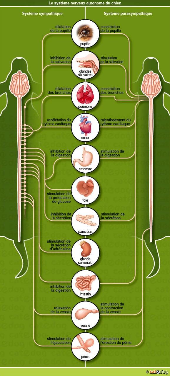 anatomie-chien-systeme-autonome-sympatique-parasympathique