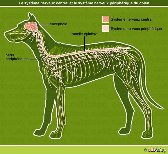 anatomie-chien-systeme-nerveux-central-peripherique