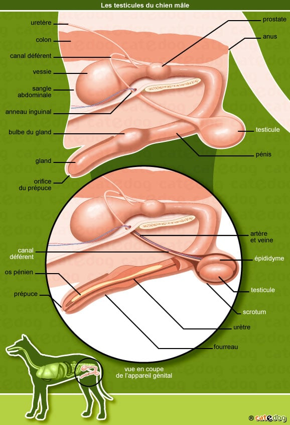 anatomie-chien-testicule-appareil-genital-penis