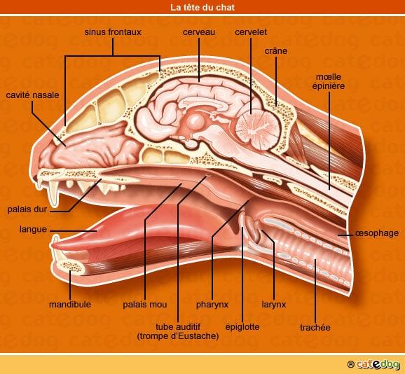 anatomie-chat-tete-cerveau-bouche-coupe