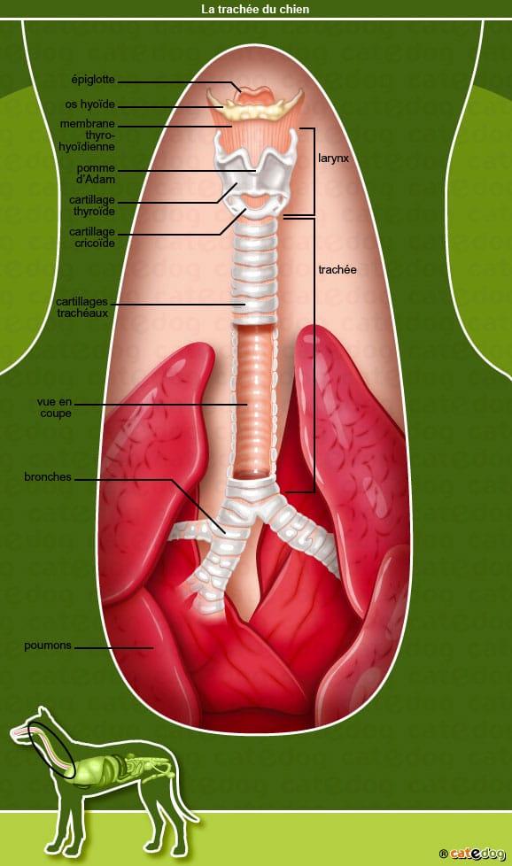 anatomie-chien-poumons-trachee-bronches-larynx