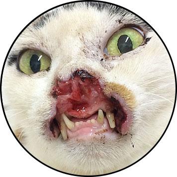 Tumeur de la bouche du chat et carcinome épidermoïde de la truffe et mâchoire