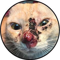 Tumeur de la bouche du chat et carcinome épidermoïde