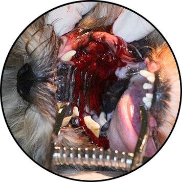 Tumeur de la bouche du palais chez le chien