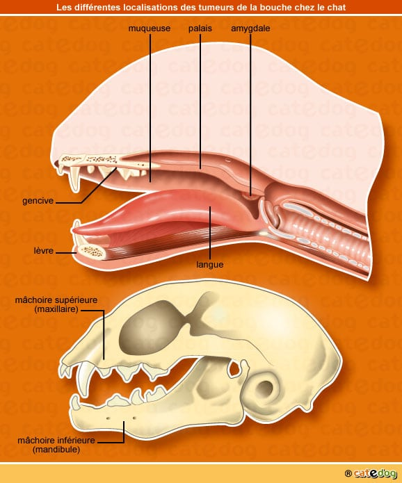 Localisations de la tumeur de la touche ou buccale chez le chat