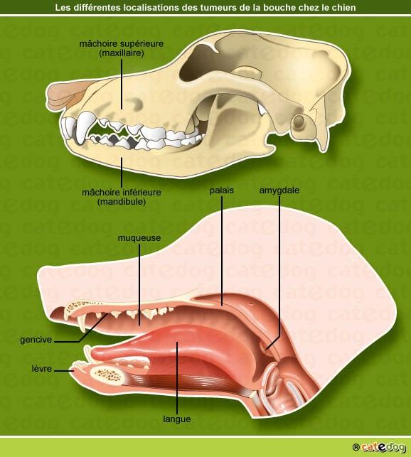 Localisations de la tumeur de la touche ou buccale chez le chien