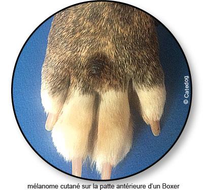 Mélanome cutané sur la peau d'un chien