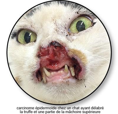 Carcinome épidermoïde de la bouche chez le chat