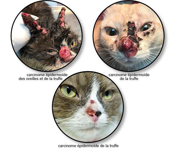 Tumeur de la peau ou carcinome épidermoïde du nez et des oreilles chez un chat