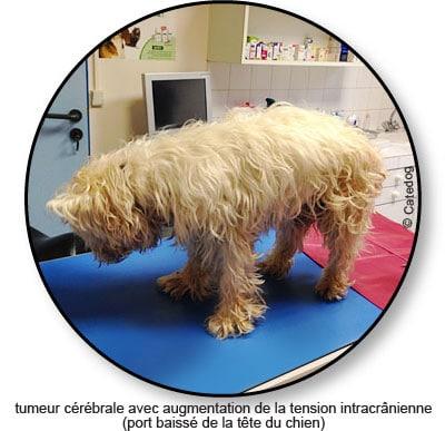 Tumeur du cerveau ou cérébrale chez le chien