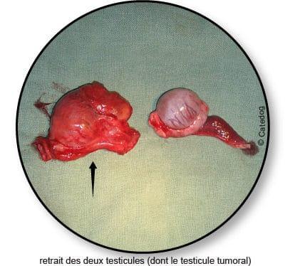 tumeur-des-testicules_chien_chat