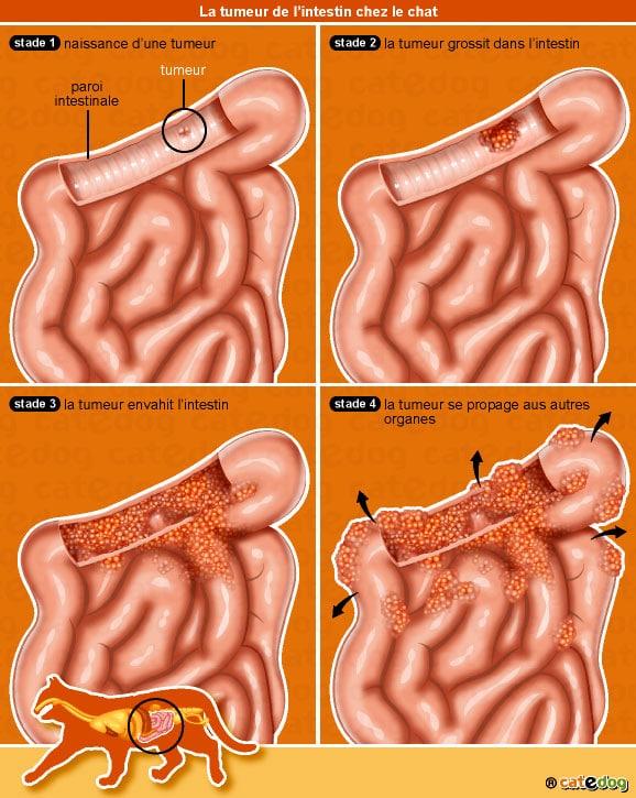 tumeur-intestin-chat