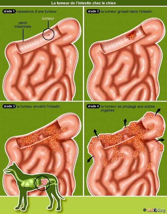 tumeur-intestin-chien