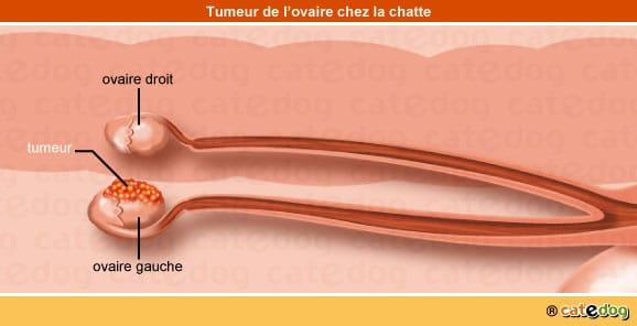 tumeur-maligne-benigne-metastases-ovaire-chatte